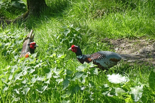 pheasants squaring up