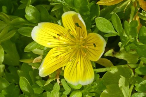 poached egg flower