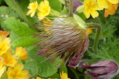 pulsatilla seed head