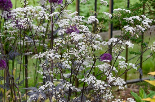 purple cow parsley