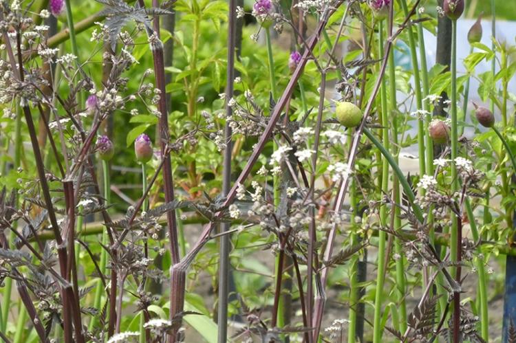 purple stemmed cow parsley