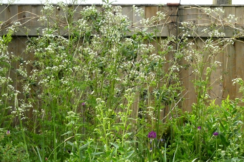 rampant cow parsley