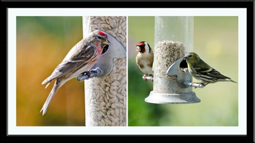 redpoll, siskin, goldfinch