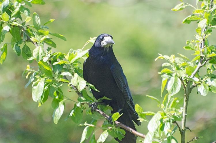 rook in plum tree