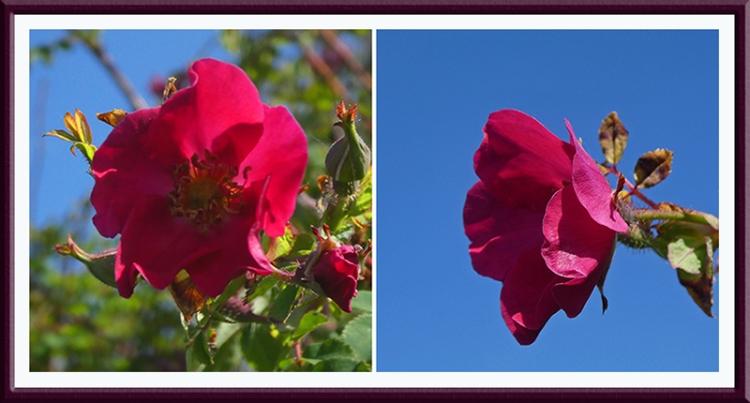 rose moyesia