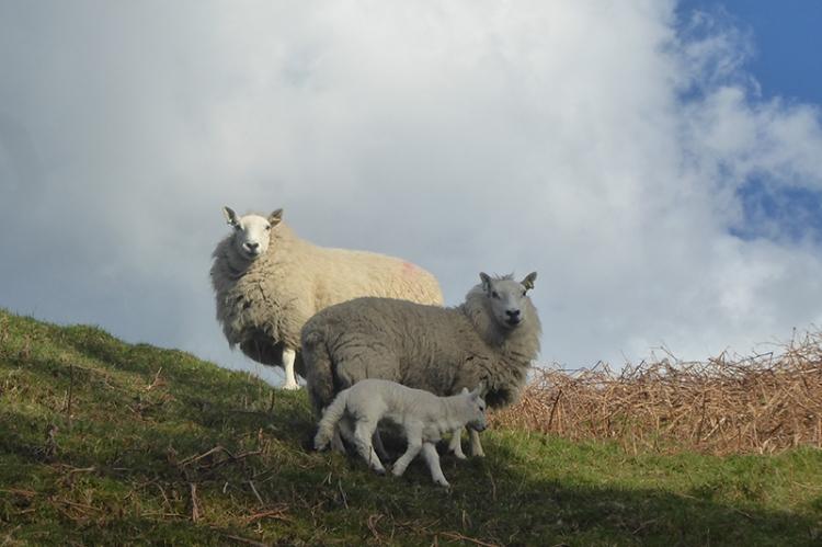 sheep spectating