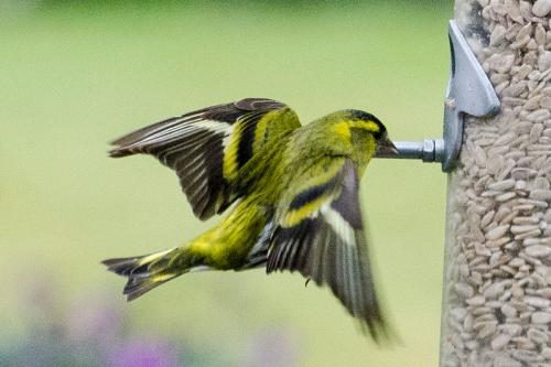 siskin heading for feeder