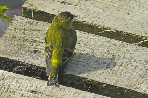 siskin on pond bridge