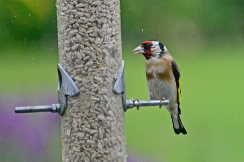 soggy goldfinch