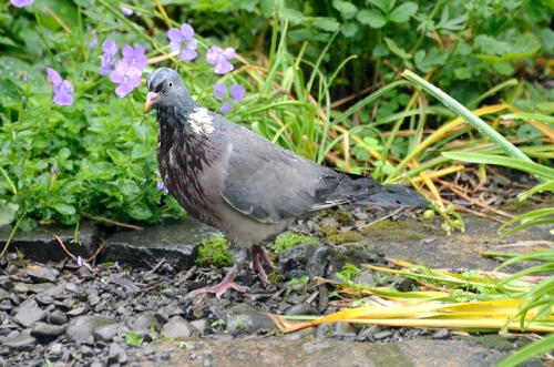 soggy pigeon