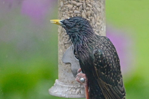 soggy starling