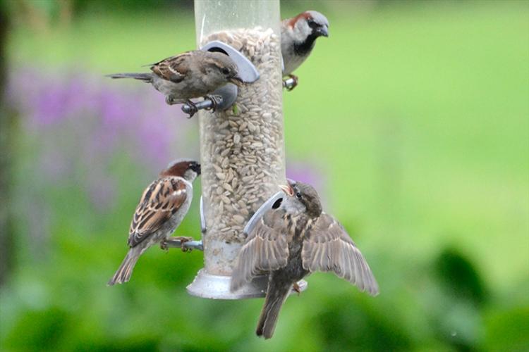 sparrow feeding 1