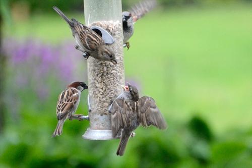 sparrow feeding 2