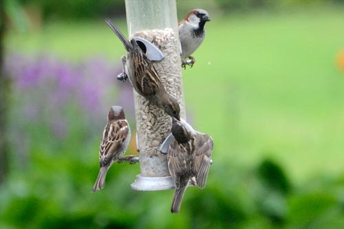 sparrow feeding 3