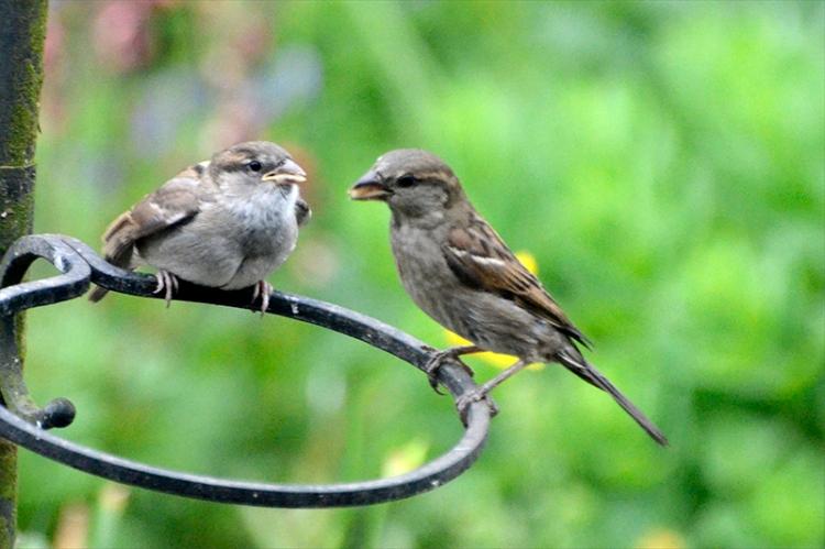sparrow feeding 4
