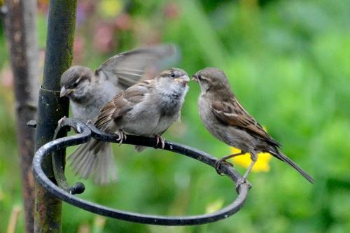 sparrow feeding 5