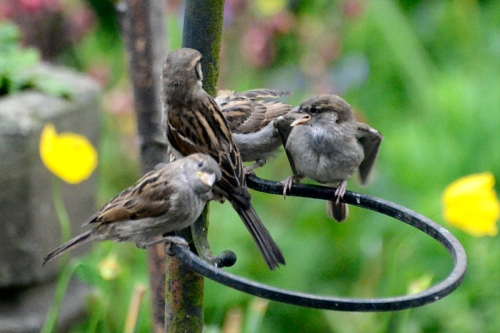 sparrow feeding 6