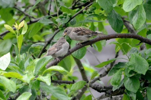 sparrow feeding young