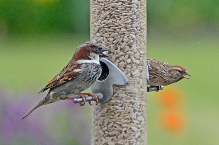 sparrow on feeder
