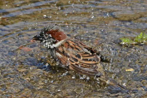 sparrow splashing