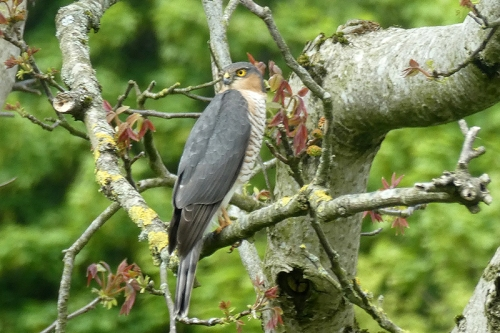 sparrowhawk in walnut tree