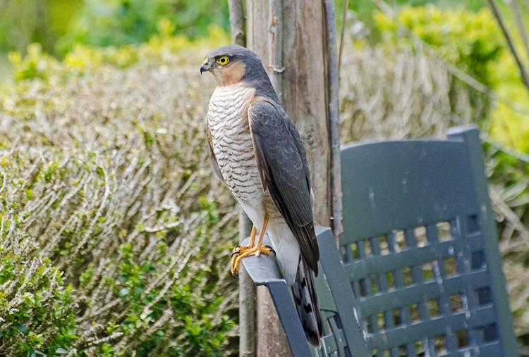 sparrowhawk on garden chair