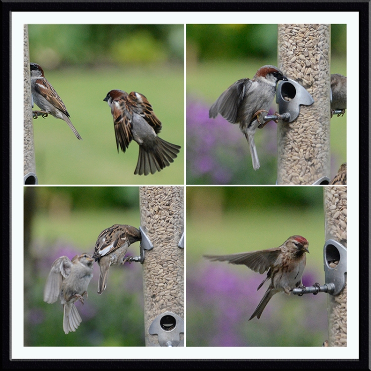 sparrows and redpoll