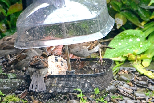 sparrows on fat balls