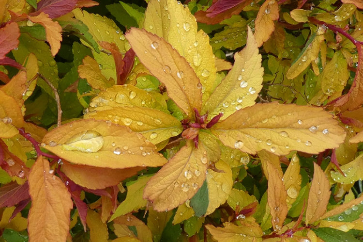 spirea with droplets