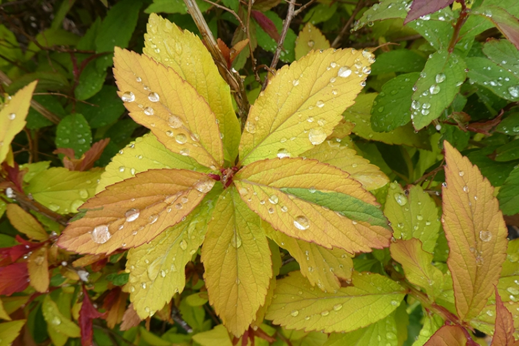 spirea with raindrops