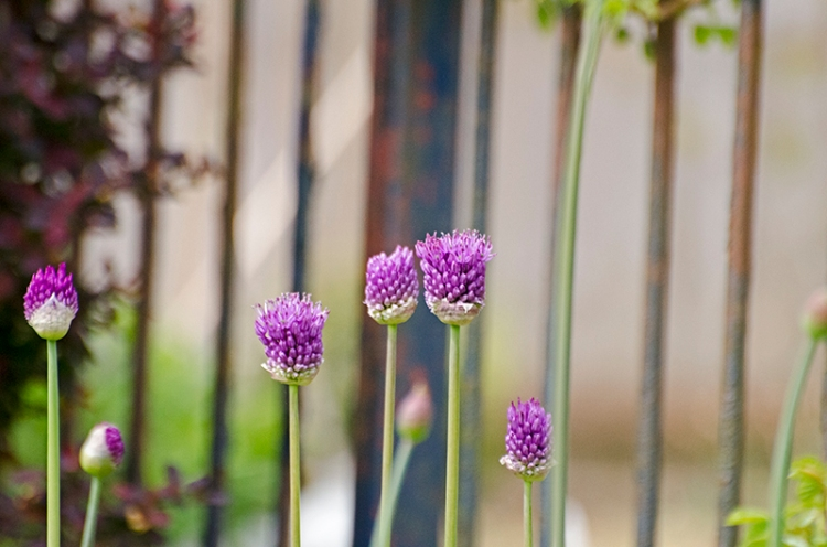 starightlines with alliums