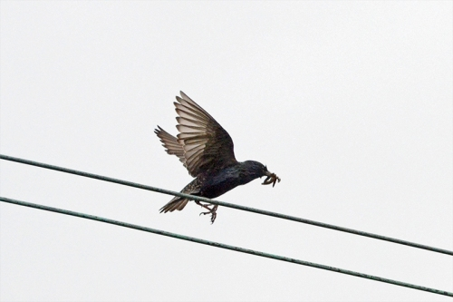 starling bringing food