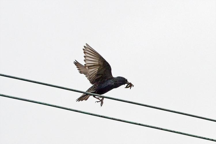 starling bringing food