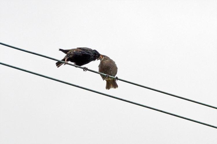 starling feeding child