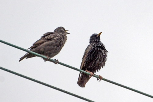 starling parent and child