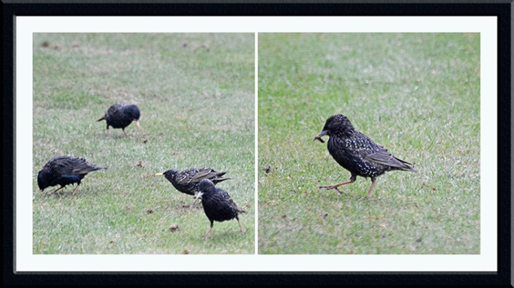 starlings on lawn