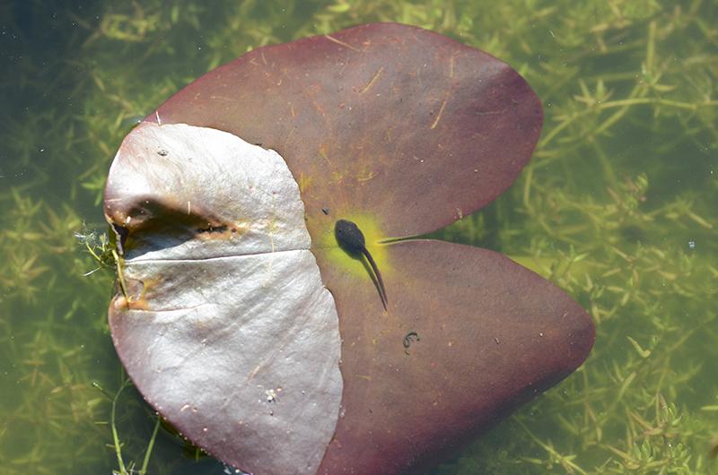 tadpole om lily leaf