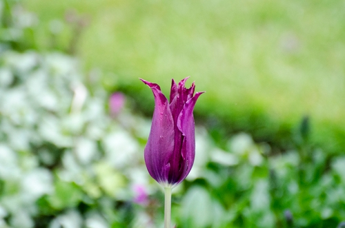 thin tulip