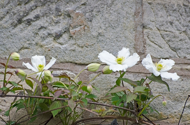 three clematis flowers