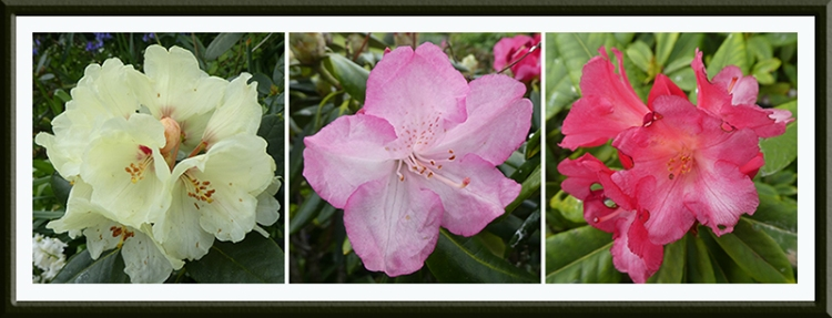 three rhododendrons