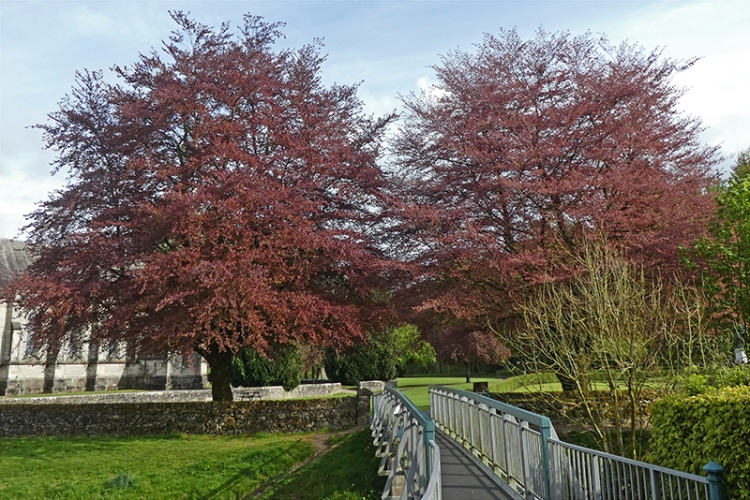 two copper beeches