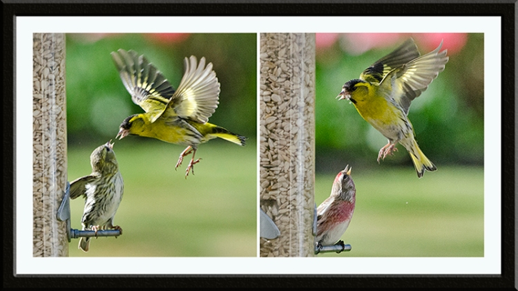 two fierce siskins