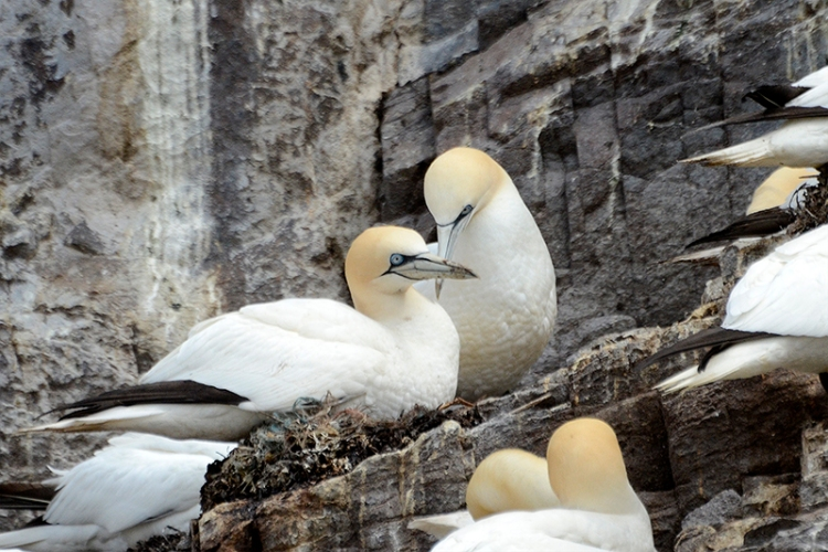 two gannets at nest