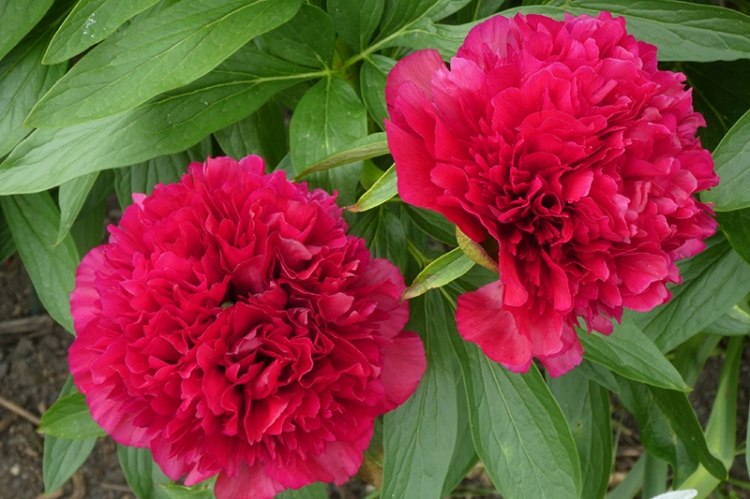 two red peonies