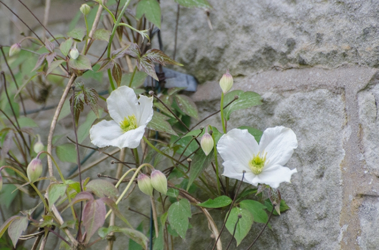 two white clematis flowers