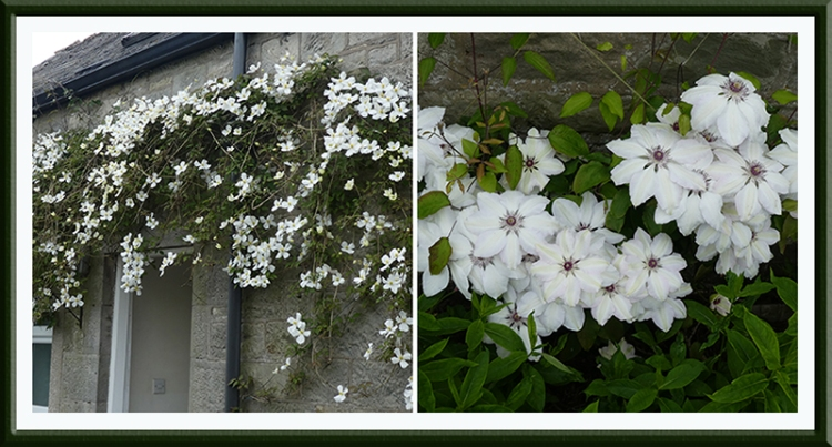 two white clematis