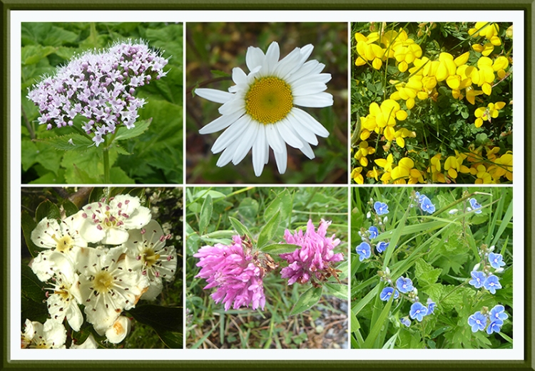 verhe wild flowers
