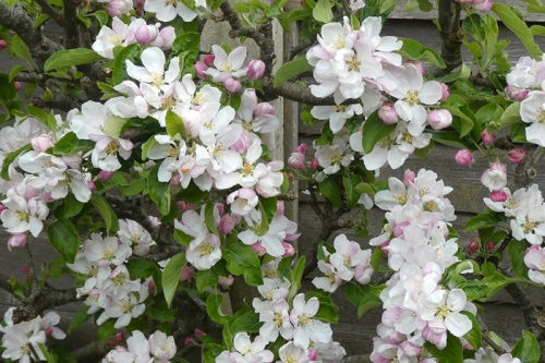very blossomy charles ross apple