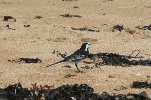 wagtail on NB beach