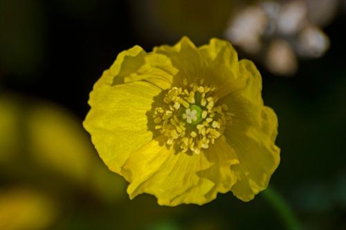 welsh poppy in sun